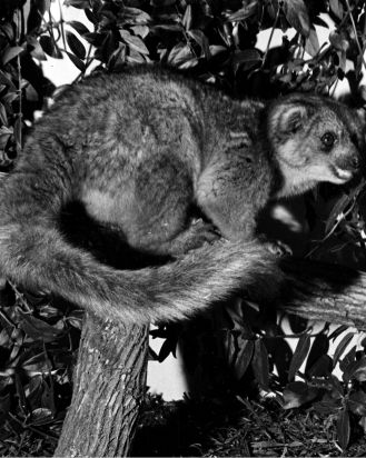 An olinguito. Its body looks somewhat like a squirrel's. It has a long fury thick tail.