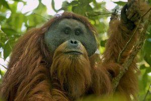 An orangutan on a tree