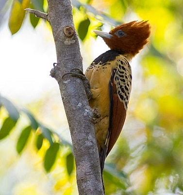 Animals thought extinct that arent kaempfer woodpecker brazil
