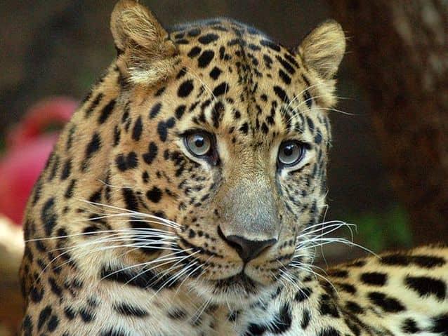 Close up of an Amur's face