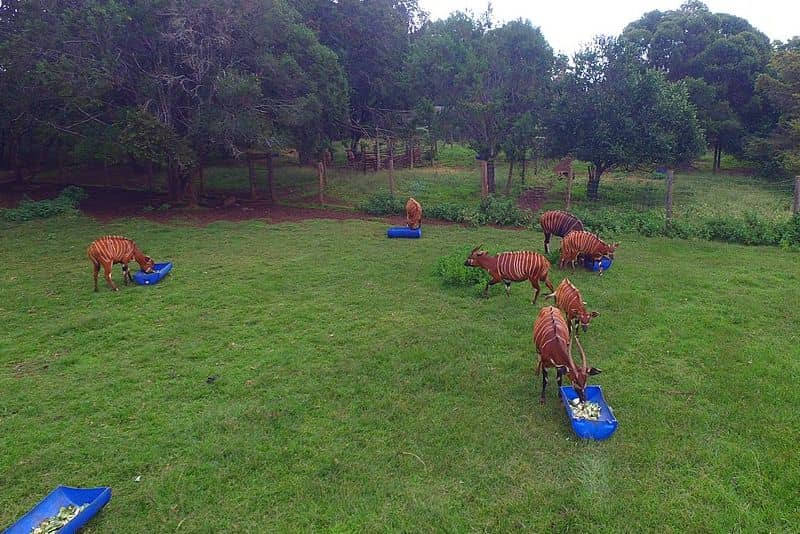 Panoramic view outdoors, near the forest. A group of bongos eat from feeders in an enclosed space.