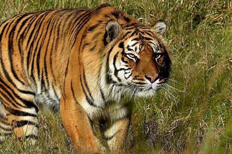 A tiger walking through the grass.