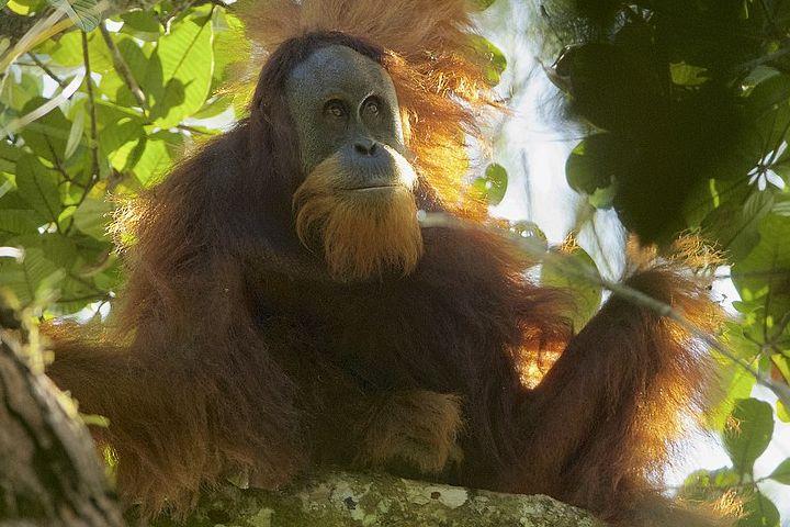 A big orange female orangutan relaxes high on a tree branch.