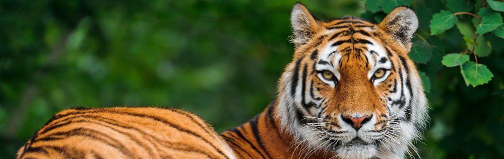A big Siberian tiger laying down.