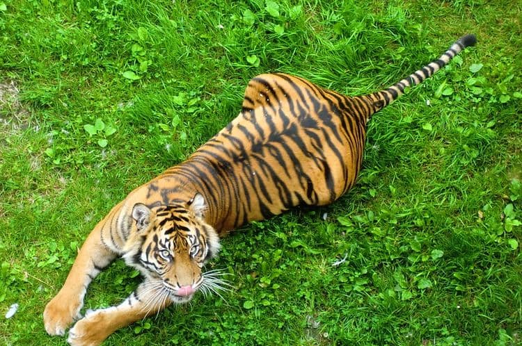 A tiger, viewed from above, stretches on the grass.