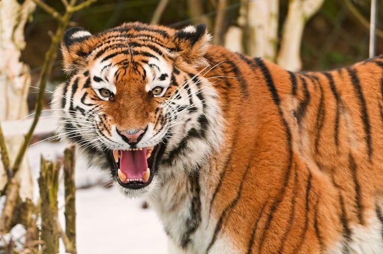 Snowy scene. A tigress roaring.
