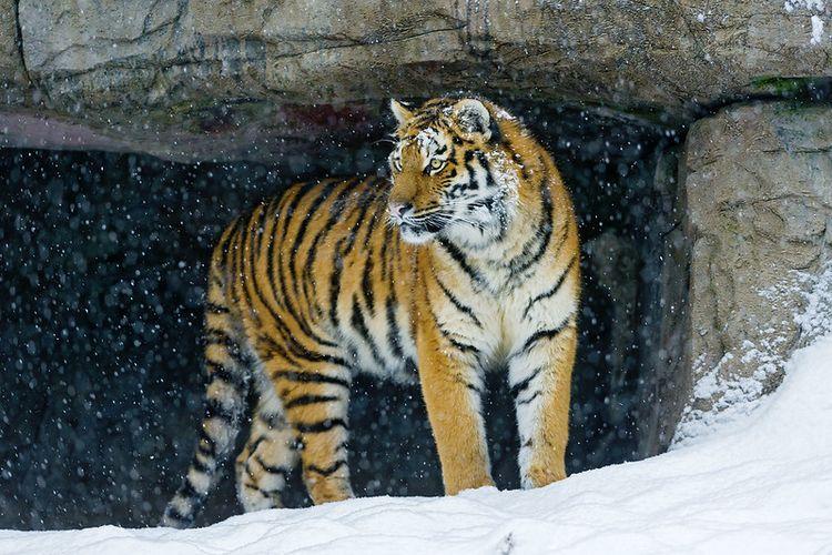 A tigress standing inside a cave.