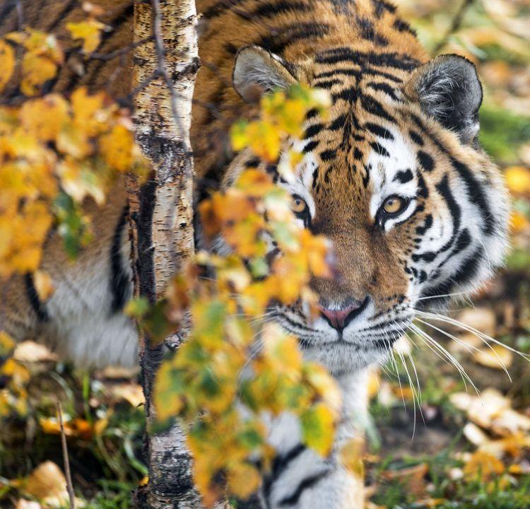 A tiger hides behind a branch.